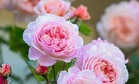 O Róży